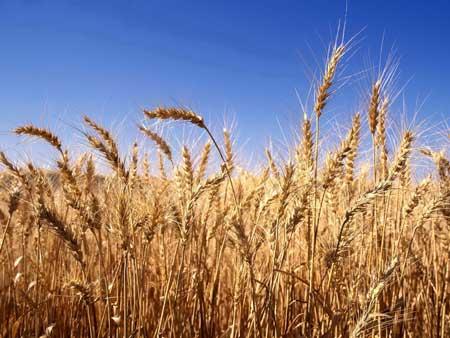 plantacao-trigo-rural-agricultura